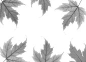 border black white maple leaves white