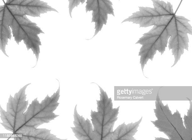 black & white maple leaves as border on white. - black border stock pictures, royalty-free photos & images