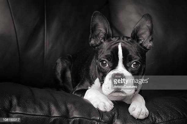 Black & White Portrait of Boston Terrier Dog on Couch