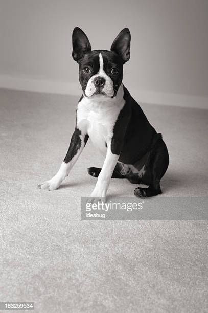 Black & White Portrait of Sitting Boston Terrier Dog