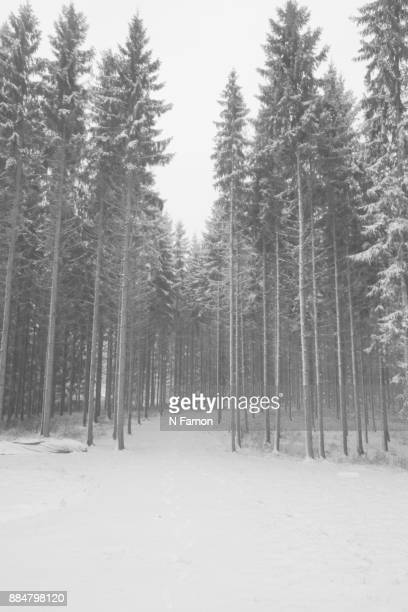 Black & white snow covered fir trees, Finland.
