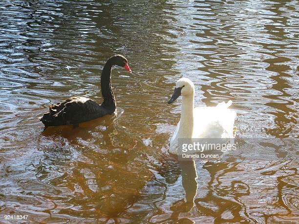 black & white swan - コクチョウ ストックフォトと画像