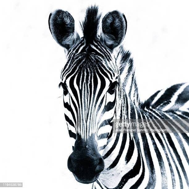 black & white zebra, serengeti, tanzania. - animals in the wild stock pictures, royalty-free photos & images
