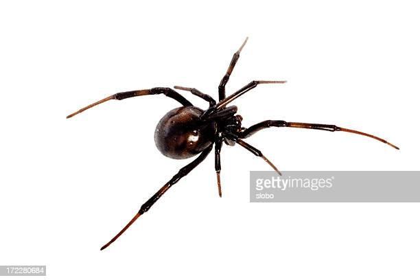 Black Widow Isolated