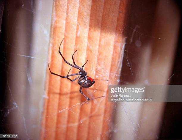 black widow - black widow spider stock photos and pictures