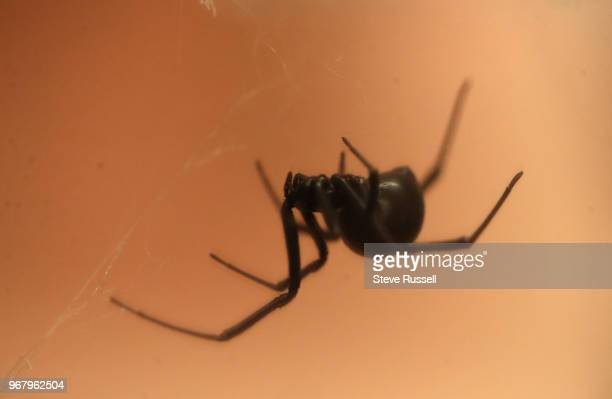 TORONTO ON JUNE 5 A black widow spider A look behindthescenes at the Royal Ontario Museums Live Room and curatorial workshop for their upcoming...