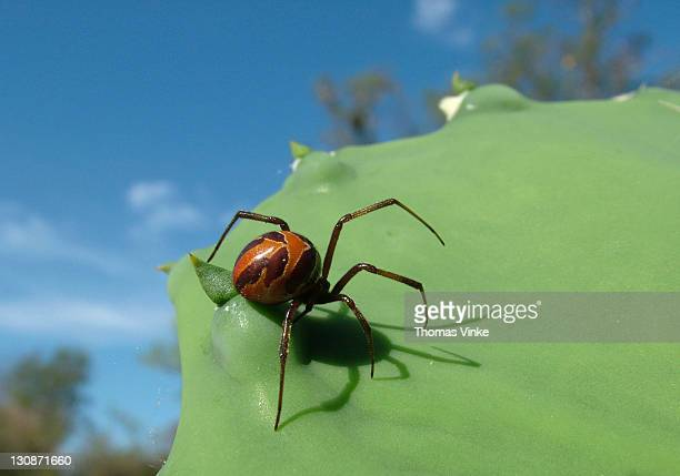 black widow spider (latrodectus antheratus) at green cactus leaf (opuntia spec.), gran chaco, paraguay - ugly spiders stock photos and pictures