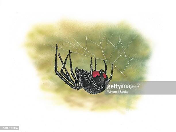 A Black Widow spider hanging from its web