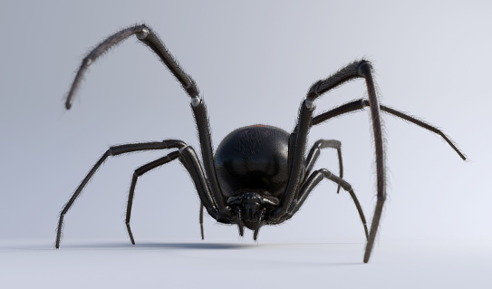 Black Widow Spider isolated on white 1091064196