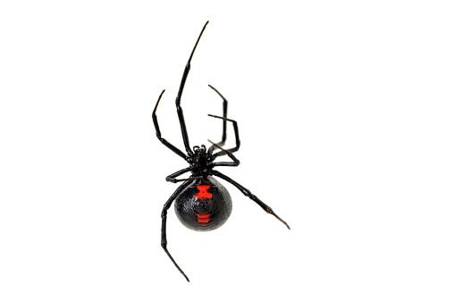 Black Widow Spider on a White Background 182736756