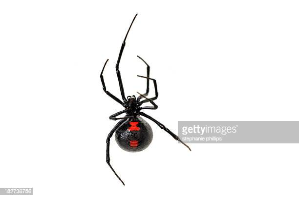 black widow spider on a white background - spider stock pictures, royalty-free photos & images