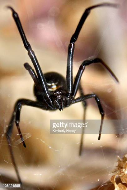 black widow spider - black widow spider stock photos and pictures