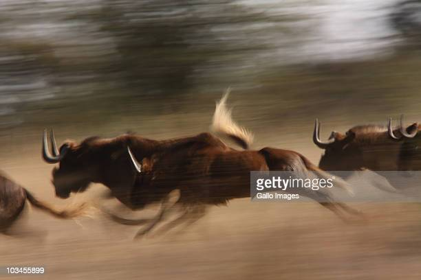 black wildebeest, connochaetes gnou, herd  with juveniles running in grassland at edge of bushveld, side on, slow shutter. klipriviersberg nature reserve, mondeor, johannesburg, south africa. - stampeding stock pictures, royalty-free photos & images