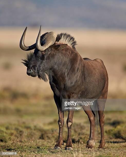 Black wildebeest (white-tailed gnu) (Connochaetes gnou), Mountain Zebra National Park, South Africa, Africa