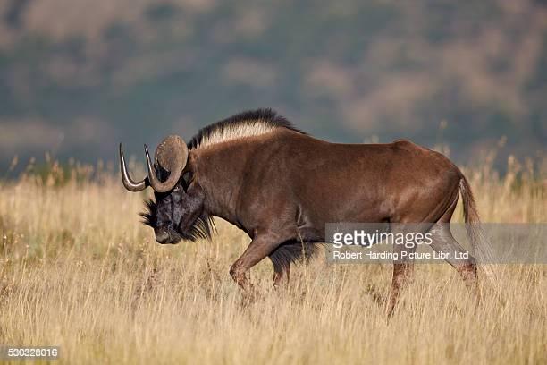 Black Wildebeest or White-Tailed Gnu (Connochaetes gnou), Mountain Zebra National Park, South Africa