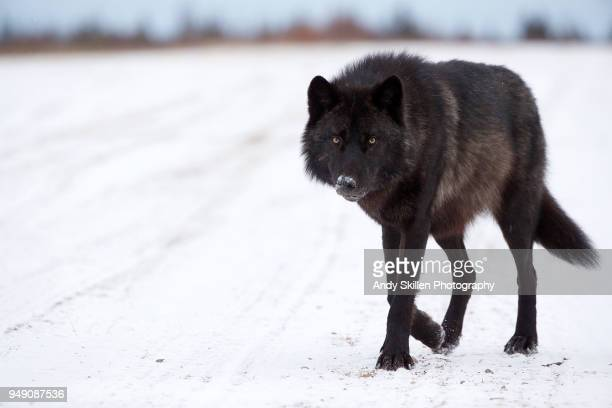 black wolf approaches a photographer hudson bay - black wolf stock pictures, royalty-free photos & images