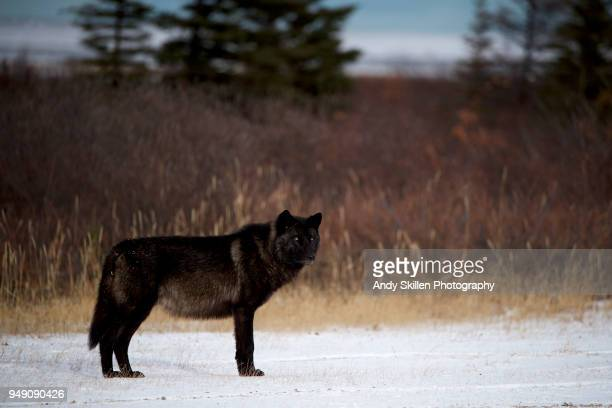 4 359 Black Wolf Photos And Premium High Res Pictures Getty Images