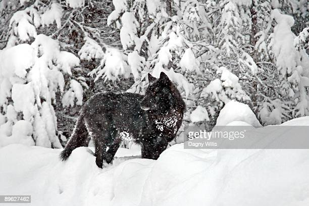 Black wolf in snowstorm looking back