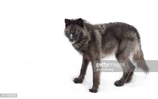 black wolf in winter - black wolf stock pictures, royalty-free photos & images