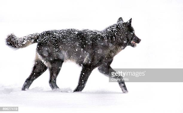 Black wolf loping through snow
