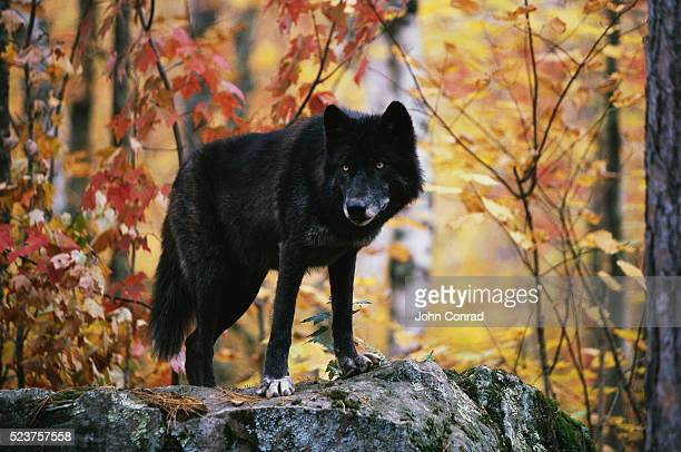 black wolf - black wolf stock pictures, royalty-free photos & images
