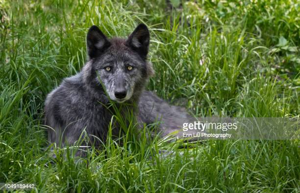 black wolf portrait - black wolf stock pictures, royalty-free photos & images