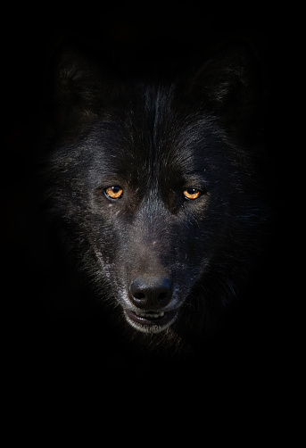 Black wolf portrait 1161563847