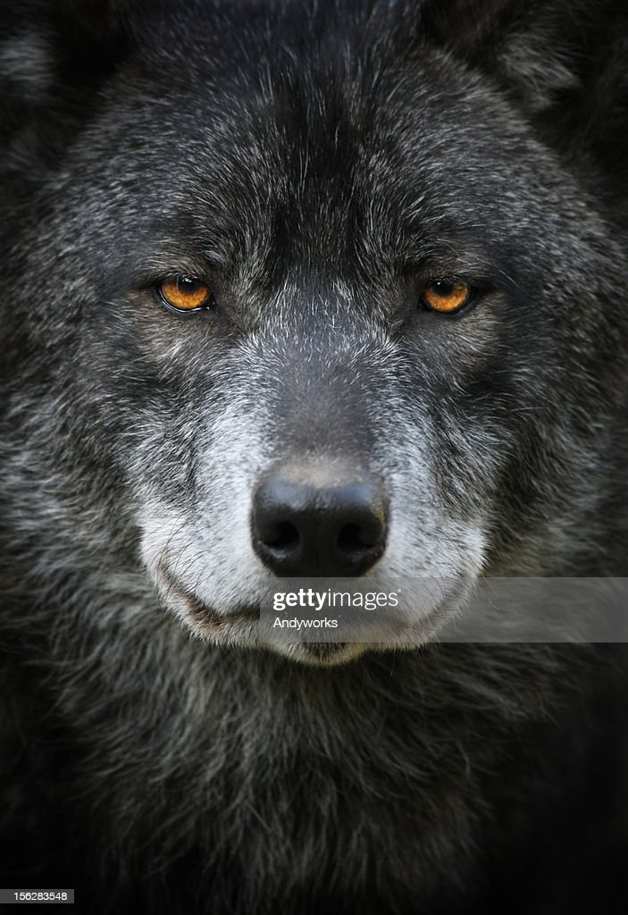 Black Wolf Portrait : Stock Photo