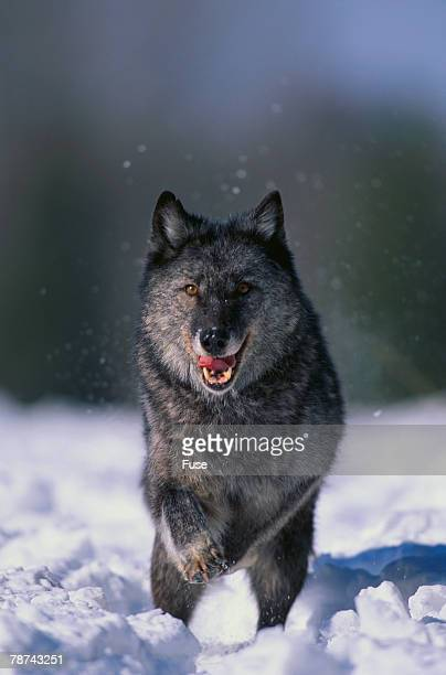 black wolf running in snow - black wolf stock pictures, royalty-free photos & images