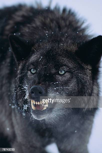 black wolf snarling in snow - fang stock pictures, royalty-free photos & images