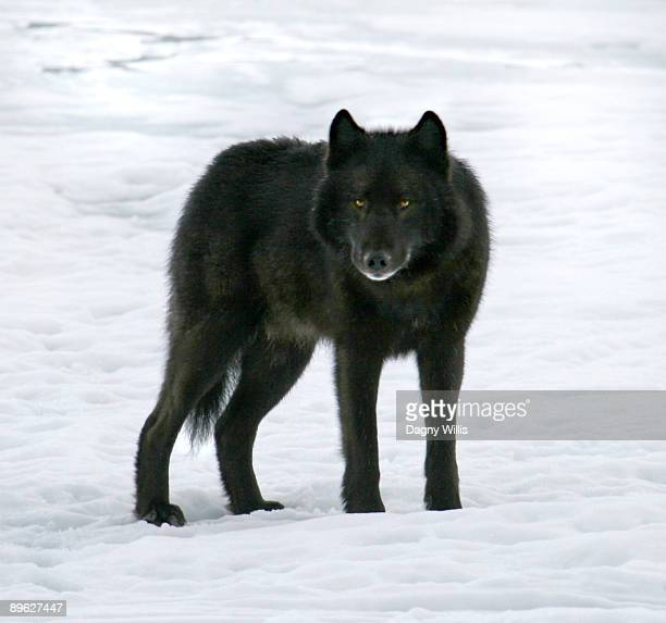 Black wolf standing on ice