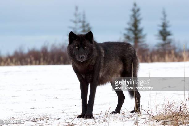 black wolf stands in a clearing by the hudson bay - black wolf stock pictures, royalty-free photos & images
