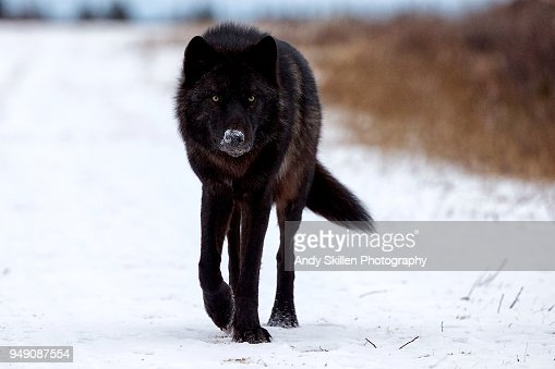 4 351 black wolf photos and premium high res pictures getty images 4 351 black wolf photos and premium high res pictures getty images