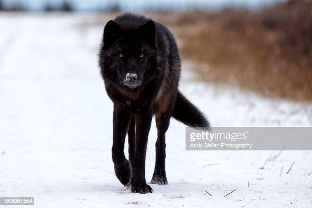 black wolf walks towards photographer - acechar fotografías e imágenes de stock