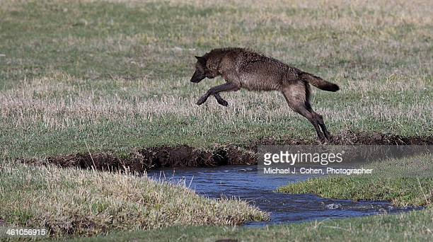 black wolf, yellowstone - michael wolf stock photos and pictures