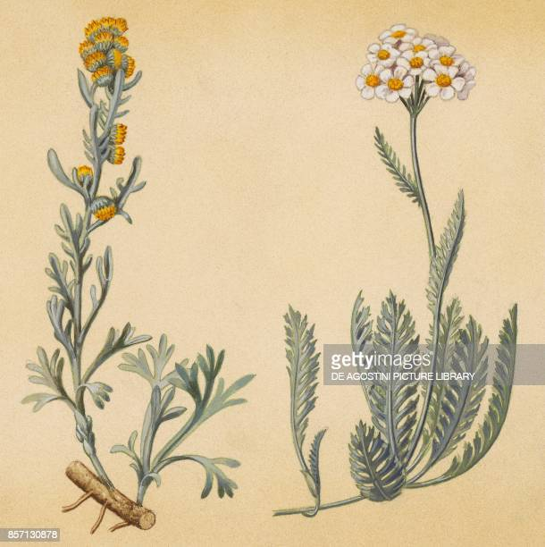 Black wormwood or Black mugwort Achillea drawing