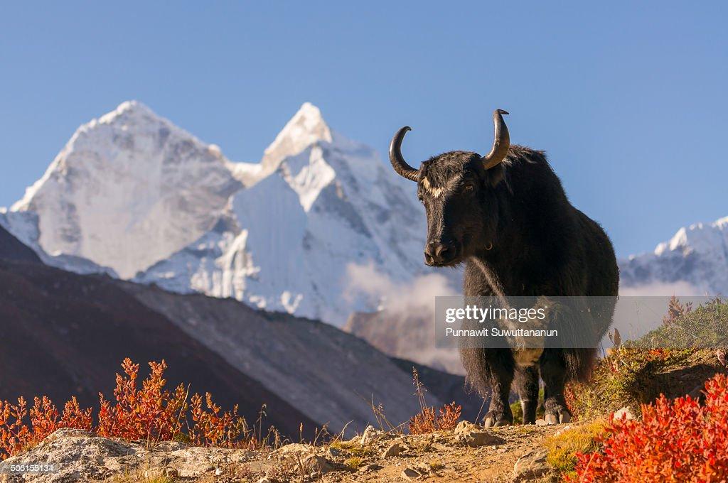 Black yak and Kantega mountain : Stock Photo