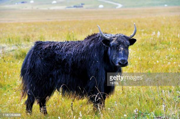black yak on the plain - yak stock pictures, royalty-free photos & images