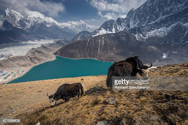 black yaks at gokyo ri, everest region - gokyo ri ストックフォトと画像