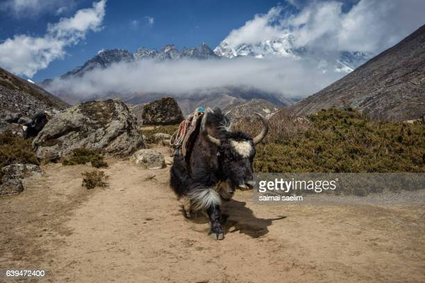 Black Yaks in Nepal with mountain in the background