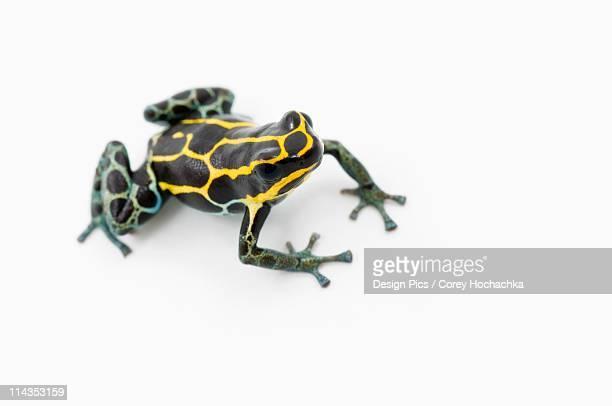 Black, Yellow And Blue Poison Dart Frog (Dendrobates Ventrimaculatus)