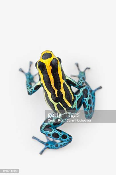 black, yellow and blue poison dart frog (dendrobates ventrimaculatus)