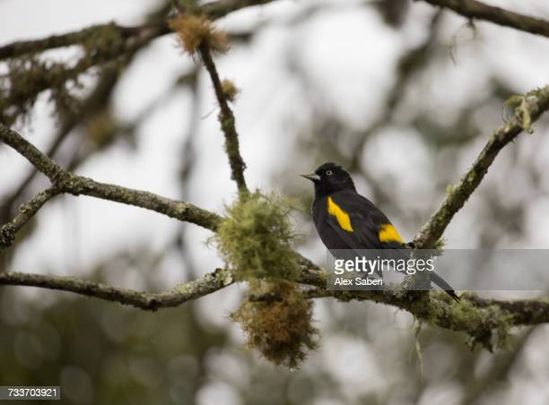 a black-and-gold cotinga, tijuca atra, perches on a mossy branch. - alex saberi stock pictures, royalty-free photos & images