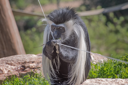 Black-and-white colobus. Exotic monkeys in the Monkey Forest in Yodfat, Israel. Natural conditions for freely moving animals. Close ups portrait 1218636131