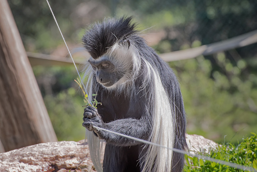 Black-and-white colobus. Exotic monkeys in the Monkey Forest in Yodfat, Israel. Natural conditions for freely moving animals. Portrait 1218636432