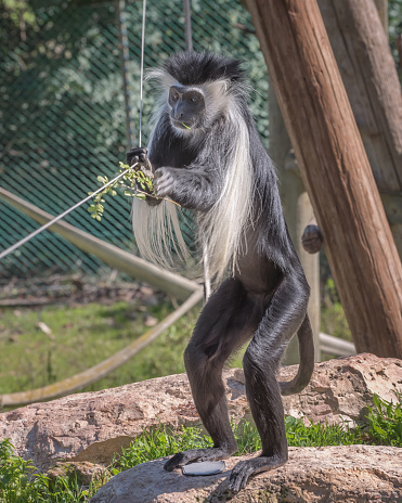 Black-and-white colobus native to Africa. Exotic monkeys in the Monkey Forest in Yodfat, Israel. Natural conditions for freely moving animals in open zoo 1218636993