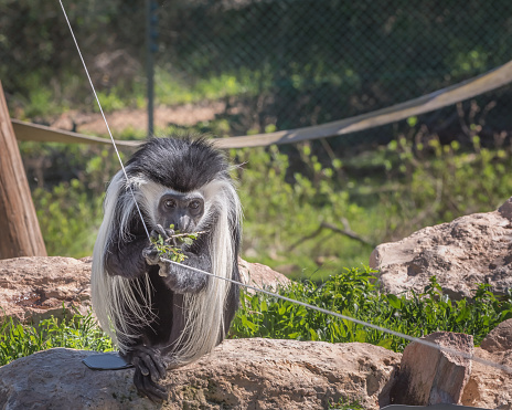 Black-and-white colobus, Old World monkeys of the genus Colobus. Exotic monkeys in the Monkey Forest in Yodfat, Israel. Natural conditions for freely moving animals 1218636109
