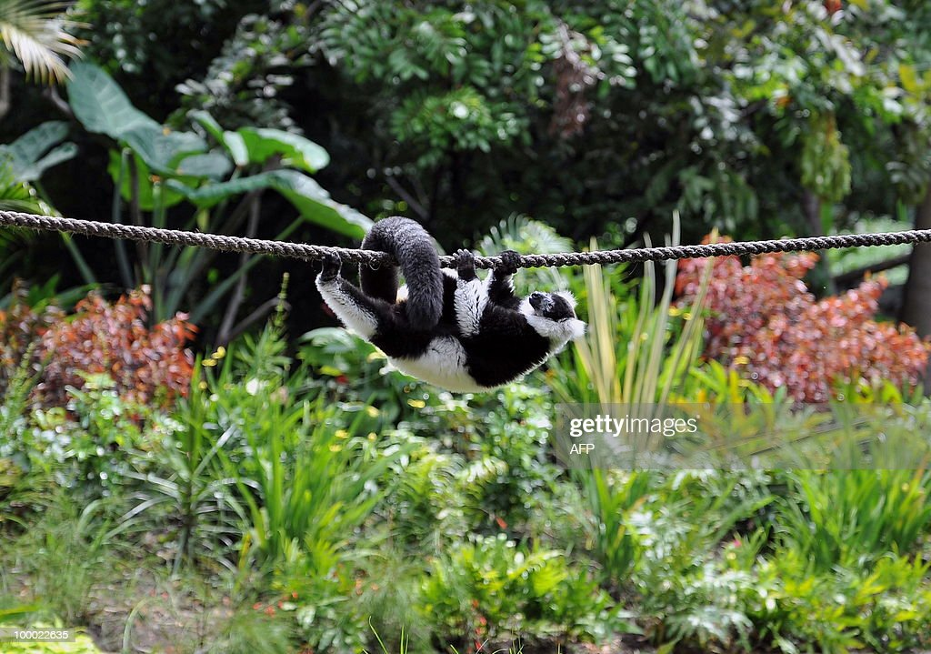 A black-and-white ruffed lemur (Varecia variegata) is seen during the presentation of the new inhabitants of the zoo in Cali, department of Valle del Cauca, Colombia, on May 20, 2010. The black-and-white ruffed lemur is the only species within the monotypic genus Lemur, and like other lemurs, is found only on the island of Madagascar. Only three zoos in Latin American have lemurs. AFP PHOTO/Luis ROBAYO