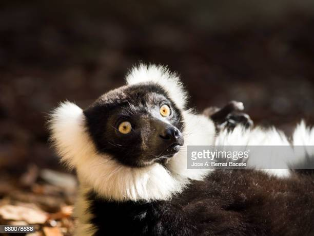 Black-and-white ruffed lemur,  (Varecia variegata), lying on his back sunbathing