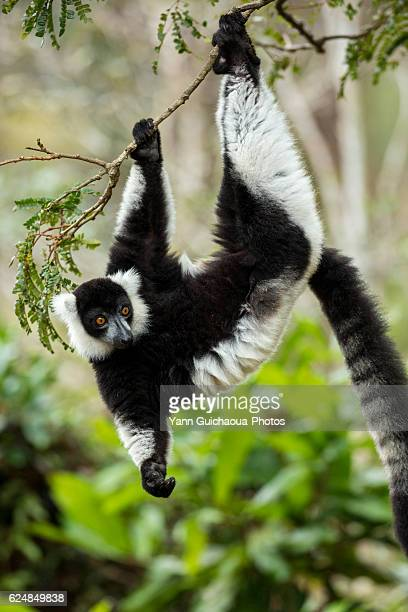 black-and-white ruffed lemur,varecia variegata variegata ,vakôna forest lodge, andasibe, madagascar - lemur stock pictures, royalty-free photos & images